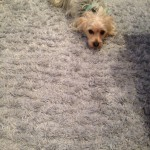 Livermore-Dog-carpet-clean